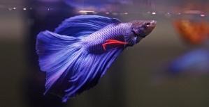 Purple-Betta-Fish